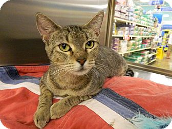 Domestic Shorthair Cat for adoption in The Colony, Texas - Artemis