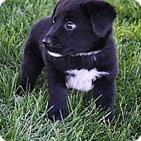 Adopt A Pet :: Kip - Broomfield, CO