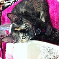 Adopt A Pet :: Ivy - Long Beach, CA