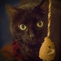 Domestic Shorthair Cat for adoption in Belton, Missouri - Chili