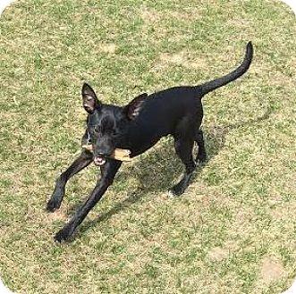Chihuahua Mix Puppy for adoption in Toledo, Ohio - Fido