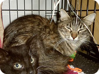 Maine Coon Cat for adoption in Medford, Wisconsin - FREYA