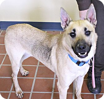 German Shepherd Dog/Husky Mix Dog for adoption in White Cloud, Michigan - Bronco RESCUE ONLY