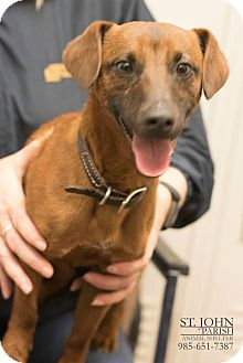 Dachshund Mix Dog for adoption in Laplace, Louisiana - Rocky
