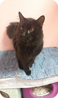 Domestic Longhair Cat for adoption in Somerville, Massachusetts - Red