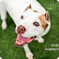 American Staffordshire Terrier Mix Dog for adoption in Kansas City, Missouri - Guero