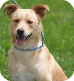 Labrador Retriever/Collie Mix Dog for adoption in Russellville, Kentucky - Hank