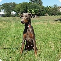 Adopt A Pet :: Darla - Fort Worth, TX