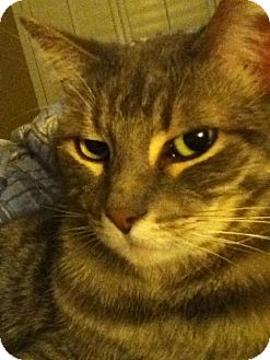 Domestic Shorthair Cat for adoption in Chandler, Arizona - BLUEBERRY