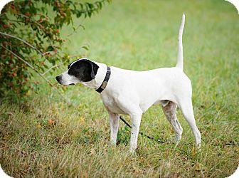 English Pointer Dog for adoption in Wood Dale, Illinois - Nash