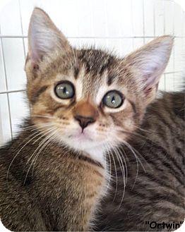 Domestic Shorthair Kitten for adoption in Key Largo, Florida - Ortwin