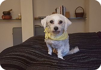Bichon Frise/Poodle (Miniature) Mix Dog for adoption in San Francisco, California - Suki