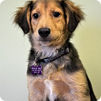 Adopt A Pet :: *Rusty - PENDING - Westport, CT