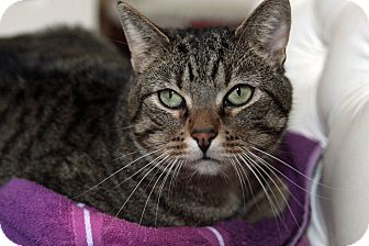 Domestic Shorthair Cat for adoption in St. Louis, Missouri - Jake