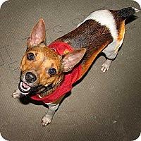 Adopt A Pet :: Pip in Louisiana - Houston, TX