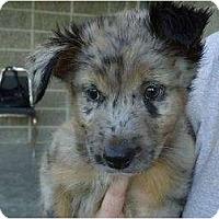 Adopt A Pet :: Remi - Arlington, TX