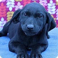 Adopt A Pet :: Allison - Starkville, MS