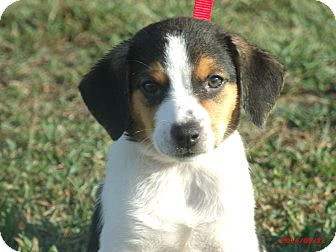 Border Collie/Beagle Mix Puppy for adoption in Sanford, Maine - MOLLY