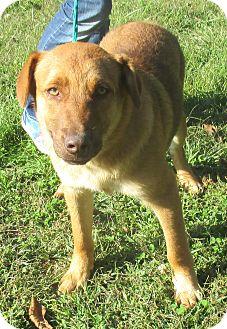 Anatolian Shepherd/Hound (Unknown Type) Mix Puppy for adoption in Reeds Spring, Missouri - Professor