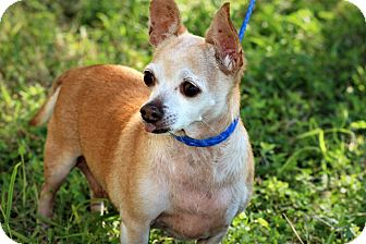 Chihuahua Mix Dog for adoption in Brownsville, Texas - Mica