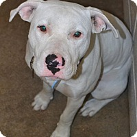 Bull Terrier Mix Dog for adoption in Beaumont, Texas - Amigo