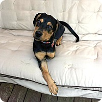 Adopt A Pet :: *Mira(cle) - PENDING - Westport, CT