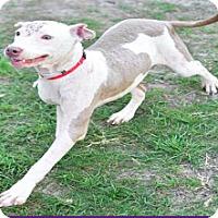 Adopt A Pet :: Reba - Fort Collins, CO