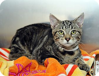 Domestic Shorthair Cat for adoption in Farmingdale, New York - Onyx