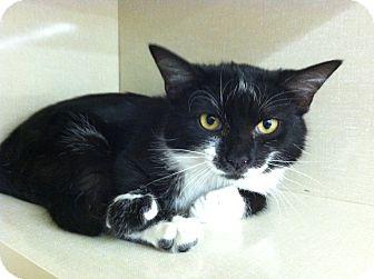 Domestic Shorthair Cat for adoption in Riverhead, New York - Aruba