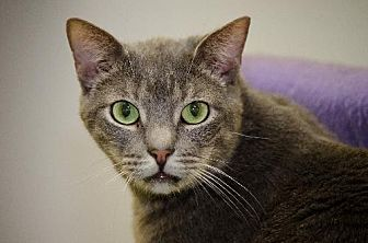 Domestic Shorthair Cat for adoption in Atlanta, Georgia - Scully 9035
