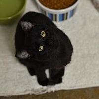 Domestic Shorthair Cat for adoption in Atlanta, Georgia - Janae151884
