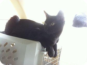 Domestic Shorthair Kitten for adoption in St. Louis, Missouri - Bungee