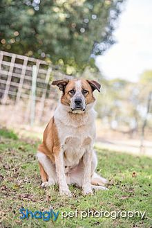 Australian Shepherd/Labrador Retriever Mix Dog for adoption in McKinney, Texas - Sammy