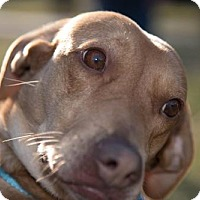 Beagle/Labrador Retriever Mix Dog for adoption in Glen Burnie, Maryland - Sunny
