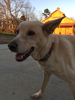 Shepherd (Unknown Type) Mix Dog for adoption in Greeneville, Tennessee - Ciera