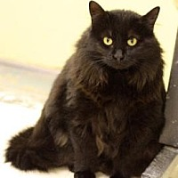 Domestic Longhair Cat for adoption in Denver, Colorado - SweetPea