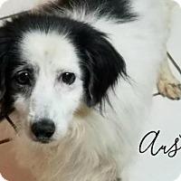 Adopt A Pet :: Austin - Joliet, IL
