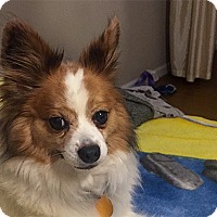 Adopt A Pet :: Cosmo the Fluff - Durham, NC