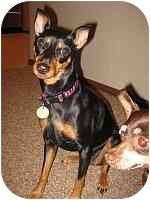 Miniature Pinscher Puppy for adoption in Florissant, Missouri - Sadie