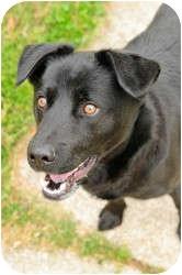 Labrador Retriever Mix Dog for adoption in Chesapeake, Virginia - Shadow