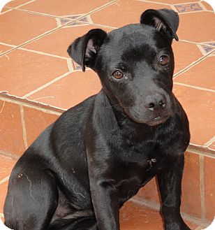 Little Pippy | Adopted Puppy | Santa Ana, CA | Labrador ...
