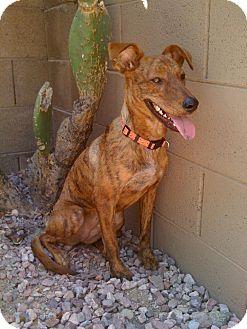 Greyhound Mix Dog for adoption in Phoenix, Arizona - Grindle