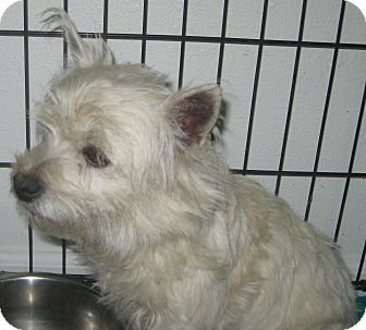 Westie, West Highland White Terrier Dog for adoption in Prole, Iowa - Willow