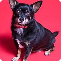Adopt A Pet :: Zoe AKA Zoey - Fort Collins, CO