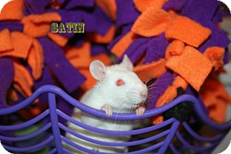 Rat for adoption in Walker, Louisiana - Satin