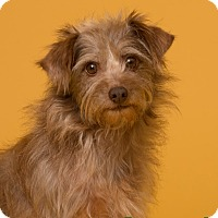 Adopt A Pet :: Amber - MEET ME - Norwalk, CT