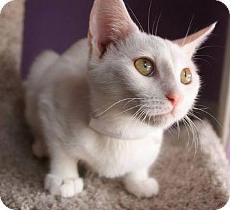 Domestic Shorthair Kitten for adoption in Phoenix, Arizona - Vivi