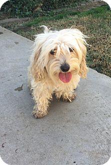 Cockapoo Mix Dog for adoption in Rancho Santa Fe, California - Quinn