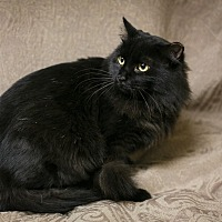 Domestic Longhair Cat for adoption in Marietta, Georgia - Boss