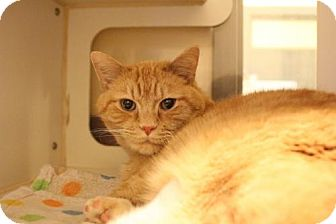 Domestic Shorthair Cat for adoption in Versailles, Kentucky - Simba